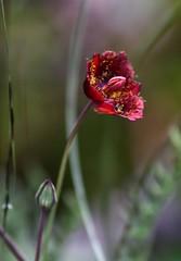 Calochortus pringlei? (Pablo Leautaud.) Tags: plant planta mexico flora flor campo unam biologia guerrero herbario biodiversidad facultaddeciencias pleautaud fcme vegetacionmexicomx