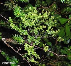 Antidaphne punctulata parasitando a Podocarpus nubigenus (Chilebosque) Tags: del punctulata quintral mao antidaphnepunctulata antidaphne eremolepidaceae
