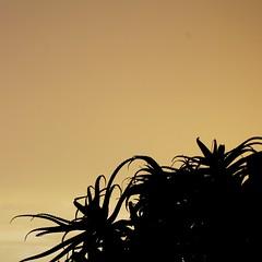 sepia sky (gil walker) Tags: contrejour aloearborescens sunsetaloe silhouettesepiaearthtone