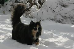 IMG_8314 (Gatti Del Freddo - NFC) Tags: cats del cat norwegian gatto freddo gatti chatons delle cuccioli foreste norvegese norvegien norvegesi gattidelfreddo norgevese