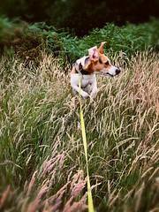 Action shot (jasminefisher1) Tags: playful field grass actionshot puppy dog