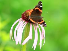 red admiral nectaring on pale purple coneflower at Decorah Prairie IA 854A5489 (lreis_naturalist) Tags: red admiral butterfly nectaring pale purple coneflower decorah prairie winneshiek county iowa larry reis