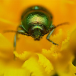Green Leaf Beetle (Cryptocephalus aureolus ?) thumbnail