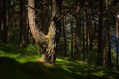 El iluminado. (Roberto_48) Tags: arbol tronco pino raro curioso