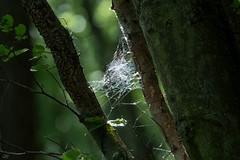 Cobwebs in the Woods (CJH Natural) Tags: woods forest cobweb spidernest spider light ray bokeh green tree baum nikon d500 nikond500 telephoto 200500mm edvr nikkor nature natural christopherharrisorg outdoors