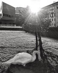Summer in the city 🌃 ☀️ 🌅 🐦  #lagodilugano #luganolake #ceresio #ticino #switzerland #lac #lugano #arteecultura #cigno #swan #sunnyday #nature #instaanimal #lake #ig_switzerland #ig_swiss #switzerlandpictures #bnw #bw #photogr (Elena Sciocco) Tags: sunset summer lagodilugano luganolake ceresio ticino switzerland lac lugano arteecultura cigno swan sunnyday nature instaanimal lake igswitzerland igswiss switzerlandpictures bnw bw photography