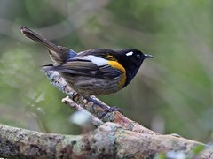 Hihi - male - unbanded (digitaltrails) Tags: stitchbird hihi karoribirdsanctuary karori bird sanctuary new zeland karorisanctuary notiomystiscincta newzealand zealandia