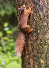 Red on the move (Margaret S.S) Tags: red squirrel climbing