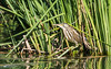 Little Bittern (female) (tickspics ) Tags: ardeidae arrocamporeservoir europe extremadura herons ixobrychusminutus littlebittern spain saucedilla