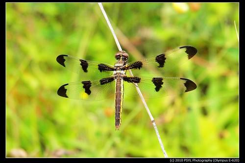 Twelve-spotted Skimmer (Libellula pulchella) 2