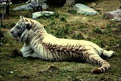 Tigre Blanc (Benot Lambert) Tags: animal zoo tiger animaux parc blanc tigre zoologique sauvage bte tigreblanc