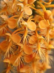 Platanthera ciliaris (Yellow fringed orchid) (jimf_29605) Tags: orchids sigma northcarolina olympus wildflowers pisgahnationalforest yellowfringedorchid 105mm e510 transylvaniacounty platantheraciliaris