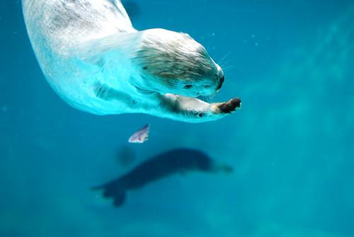 [フリー画像] 動物, 哺乳類, イタチ科, ラッコ, ブルー, 201008011100