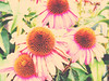 distressed coneflowers (Chickens in the Trees (vns2009)) Tags: flowers summer nature echinacea coneflower 2010 perrennial echinaceapurpurea coffeeshopactions coffeeshopaction coffeeshopatn