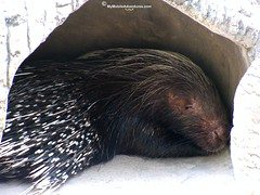 IMG_2107-Porcupine-Naples-Zoo-Florida