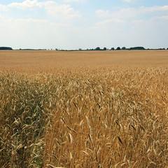 field of rye (Anke L) Tags: sky clouds germany day grain rye clear f30 brandenburg 2010 getreide roggen