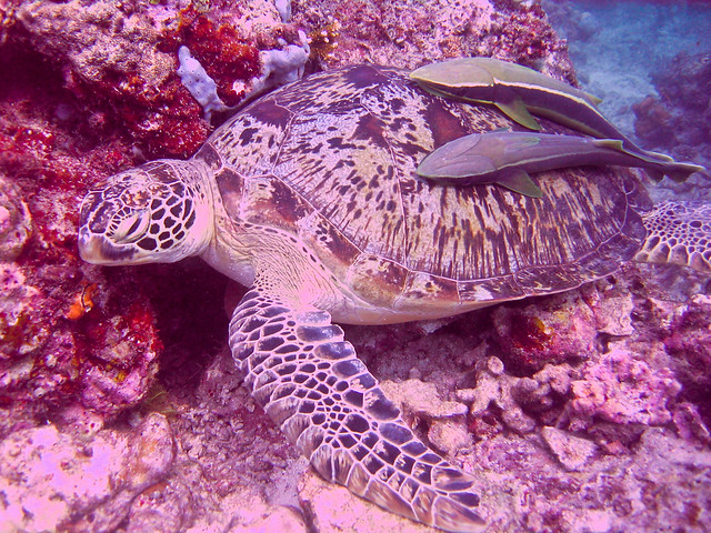 Sea Turtle at a cleaning station, Kapalai Island, Mid-Reef, Malaysia