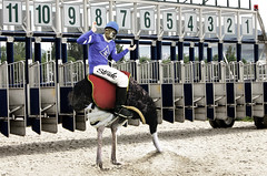 STRIDE® Ram - Ostrich Jockey (Stride Gum) Tags: travel gum funny kayak shift ostrich adventure fortuneteller app facebook traveler stride rodeoclown changeyourlife stridegum strideshift flavorchanging berrytomint citrusotmint changeyourflavor