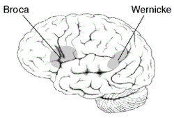 Broca and Wernicke Areas