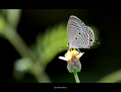 Tiny Miny Butterfly.. (Vijay..) Tags: vijay flower macro nature canon butterfly 200 nagpur explored tinyminy phulwadhawa