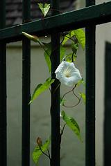 single (only alice) Tags: holiday flower rain forest woodland one scotland walk railings afterrain newlanark bindweed lanarkshire
