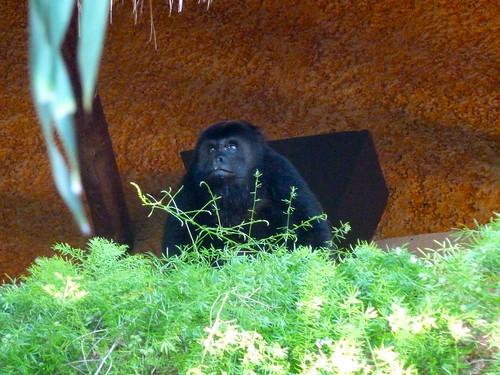 scimmia-in-hotel