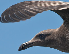 Seagull (shottwokill) Tags: california color beach birds nikon day seagull places cropped nikkor huntingtonbeach birdinflight jpgs d80