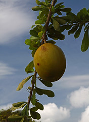 Guira Tree & Fruit ? (Roelie Wilms) Tags: blue green fruit groen blauw cuba