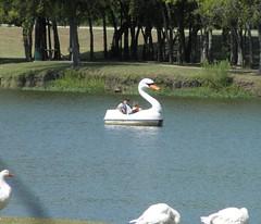 Swan pedal boat, McKinney, Texas