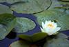(A Great Capture) Tags: trip travel vacation west flower water lily bc lotus britishcolumbia westcoast pads tripwithmom ald ash2276 ashleyduffus ©ald vancouver2010b ashleysphotographycom ashleysphotoscom ashleylduffus wwwashleysphotoscom
