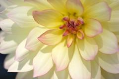 Dahlia / white yellow (V@n) Tags: dahlia white flower yellow garden southcoast scbg