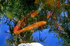 Koi Keeping Cool (chicbee04) Tags: summer arizona fish hot pond colorful day bright tucson sunny american koi consumer govinda ongoldenpond minivacation twohour beautifulfish beautifulkoi newamericanconsumerstwohourminivacation govindapond