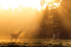 light and dark (andrew evans.) Tags: lighting morning trees light summer england sun mist nature misty fog fairytale forest sunrise golden countryside kent woods nikon wildlife warmth deer ethereal rays sunrays wonderland storybook magical 70200 f28 enchanted d3
