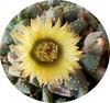 titano (fotomie2009) Tags: plant flower succulent flora id fiore pianta titanopsis succulente identificazione identication