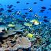 Reef fish - Papahānaumokuākea Marine National Monument