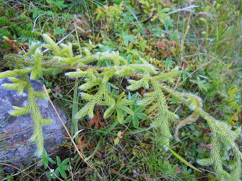 Stag-horn Clubmoss