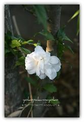 .:.:.Preferito Hibiscus.:.:. (yokopakumayoko) Tags: sardegna casa © hibiscus fiore bianco giardino preferito nuoro nugoresu goldstaraward irgoli fioredelmiogiardino saariysqualitypictures