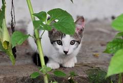 Gatico - Kitten (CAUT) Tags: portrait southamerica animal nikon kitten feline colombia retrato farm au kitty september septiembre gato cachorro felino hg hacienda 2010 gatito finca valledelcauca gatico d90 suramrica nikond90