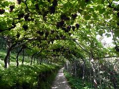 Sieht so der Weg ins Schlaraffenland aus? (hans.schlegel) Tags: lana essen ferien apfel meran vinschgau reschen etschtal südtirol
