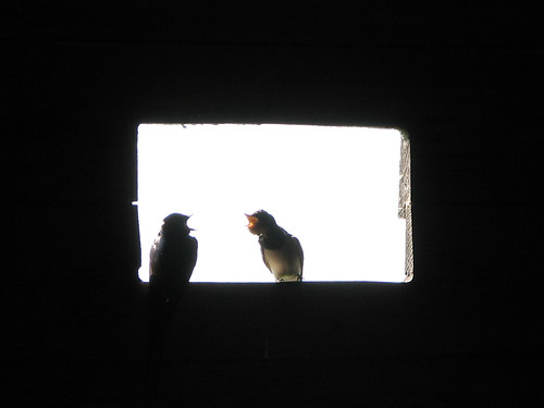 Begging Baby Barn Swallows
