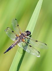 libellula (schivogian) Tags: macro nikon natura asiago primopiano libellula d300 105vr