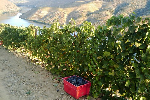 It's official, harvest 2010 has just started,first case of grapes