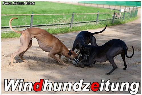 Whippet Race of the Champions: Lilly vor Mighty und Amy