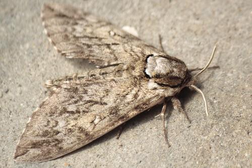 Waved sphinx moth (5) - Copy