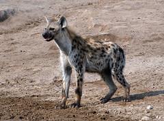 Spotted Hyena 1, Etosha