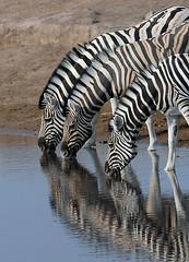 Zebras Drinking, Etosha