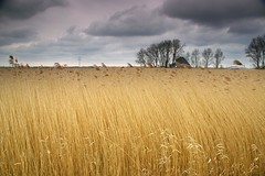 The rain in Spain stays mainly in the plain (Johan_Leiden) Tags: netherlands nederland thenetherlands rainclouds wheatfield derijp abigfave superaplus aplusphoto