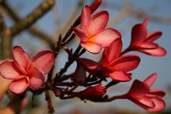 Pink Flowers, Goa, India (Wilamoyo) Tags: flowers blue sky india goa champa pinkflowers