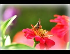 IMG_2285 (Doubletee) Tags: park flowers garden insect geotagged nebraska dof bokeh omaha grasshopper sauterelle citypark sprinkhaan cavalletta saltamontes gafanhoto urbanpark heuschrecke heartlandofamericapark   canonef70300mmf456isusm