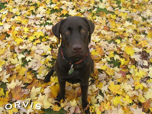 Orvis Cover Dog Contest - Beamer